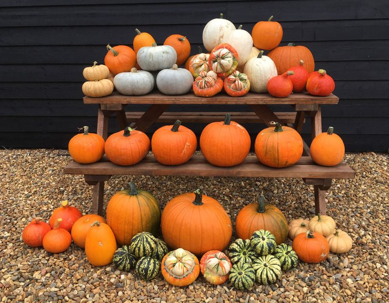 norfolk-pumpkins